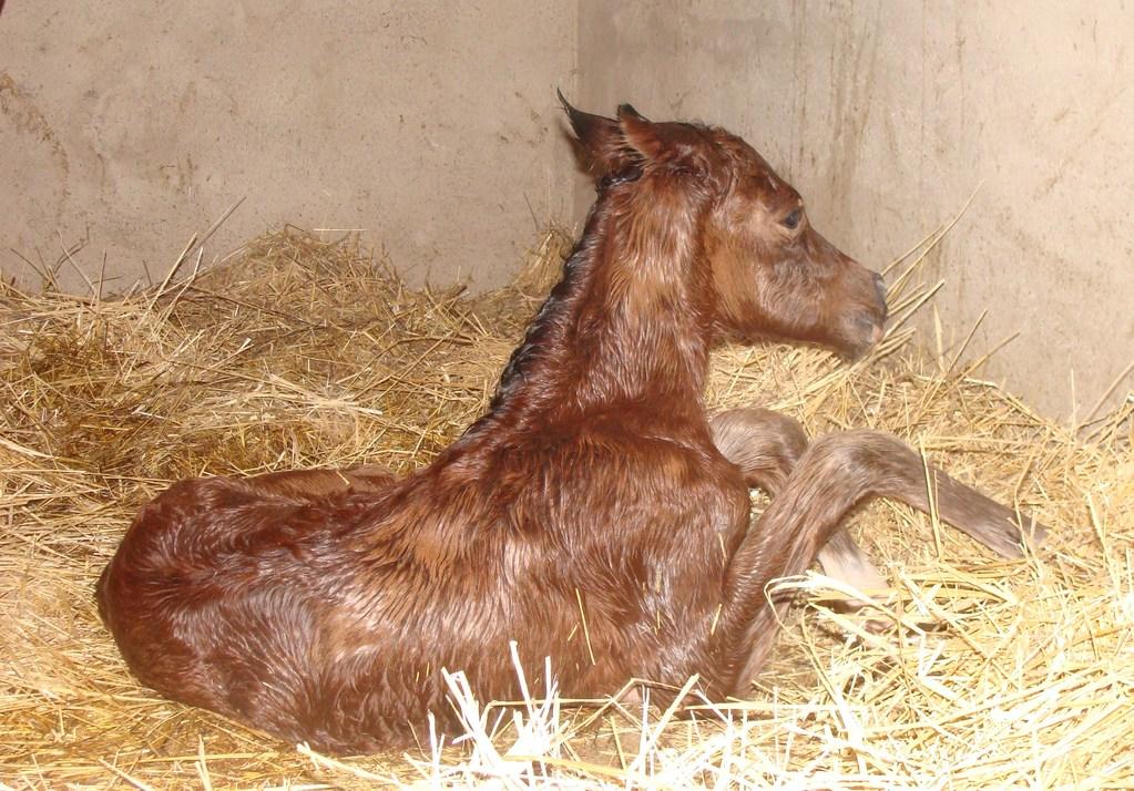 Carabijou à la naissance