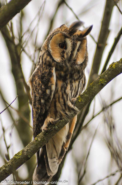 Waldohreule - long-eared owl (Asio otus