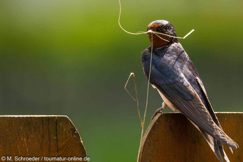 Rauchschwalbe - barn swallow (Hirundo rustica)