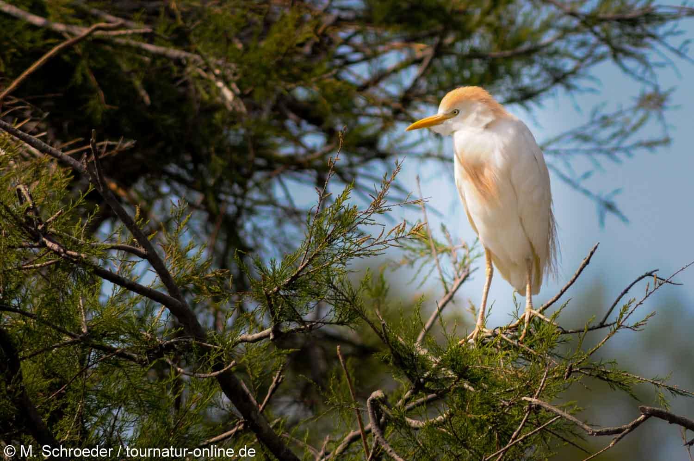 Kuhreiher - cattle egret (Bubulcus ibis)