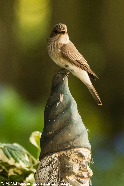 Grauschnäpper - spotted flycatcher (Muscicapa striata)