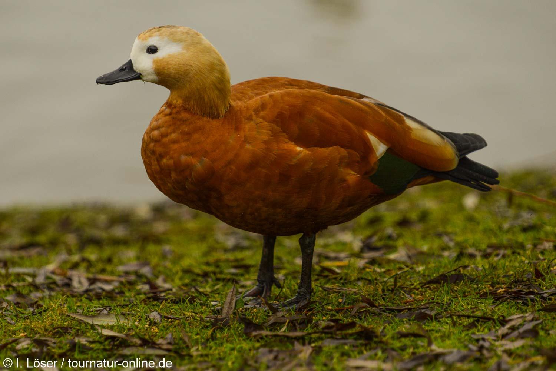 Rostgans - ruddy shelduck (Tadorna ferruginea)