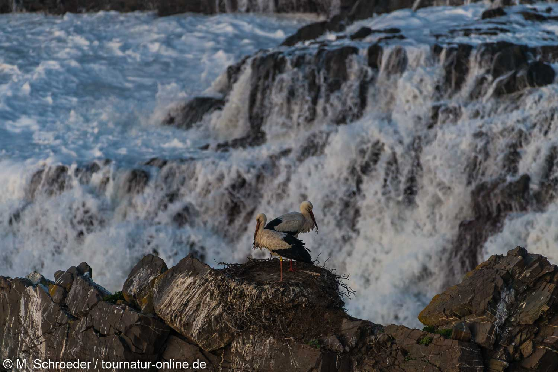 Weißstorch - white stork (Ciconia ciconia) torch - white stork (Ciconia ciconia)
