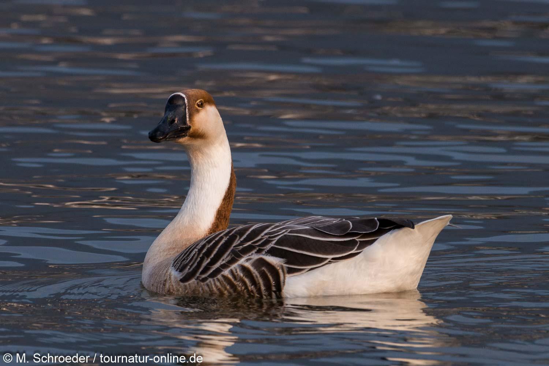 Schwanengans -  swan goose (Anser cygnoides)