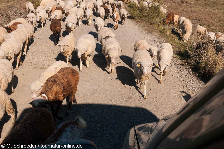 Ziegen und Schafe versperren den Weg