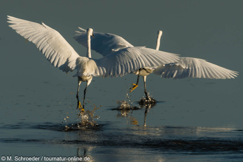 Seidenreiher - little egret (Egretta garzetta)
