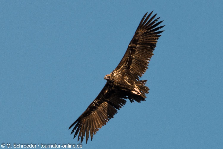 Mönchsgeier - cinereous vulture (Aegypius monachus)
