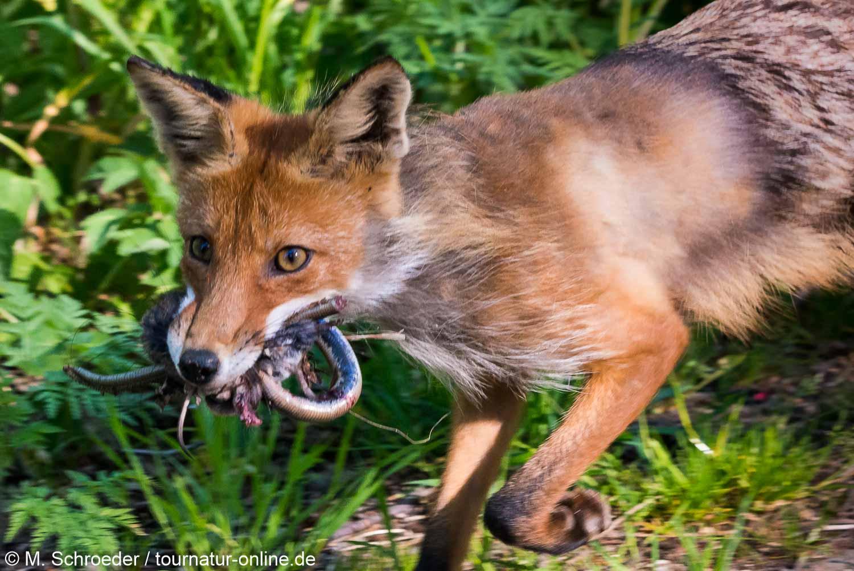 Fuchs mit Beute am Strassenrand
