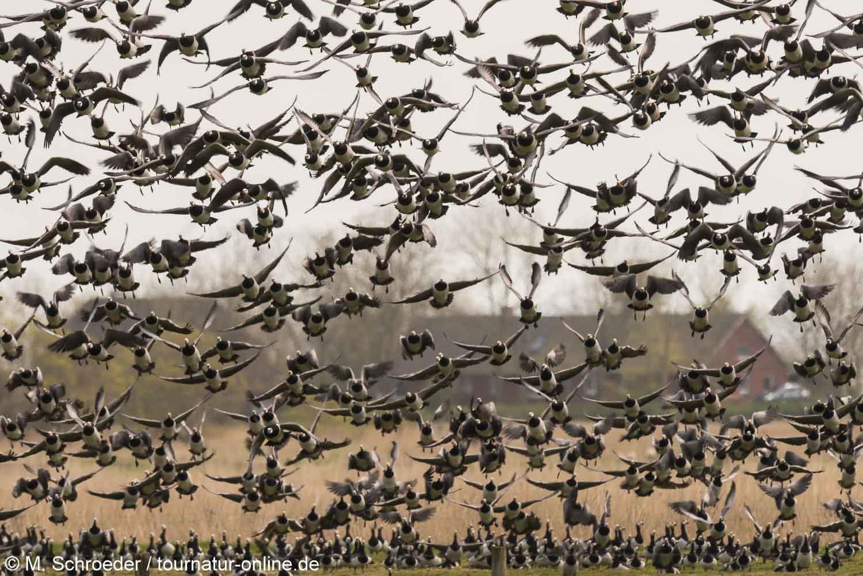 Weißwangengans - Nonnengans - barnacle goose (Branta leucopsis)