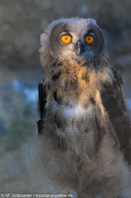 junger Uhu - Eurasian eagle-owl (Bubo bubo)