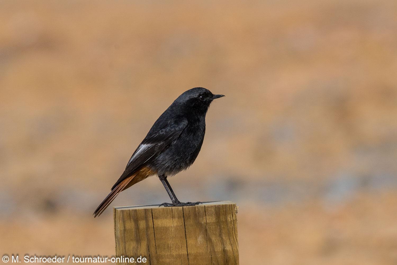 Hausrotschwanz - black redstart (Phoenicurus ochruros)