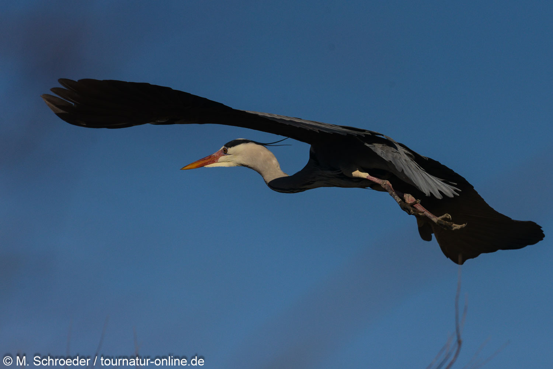 Graureiher - grey heron (Ardea cinerea)