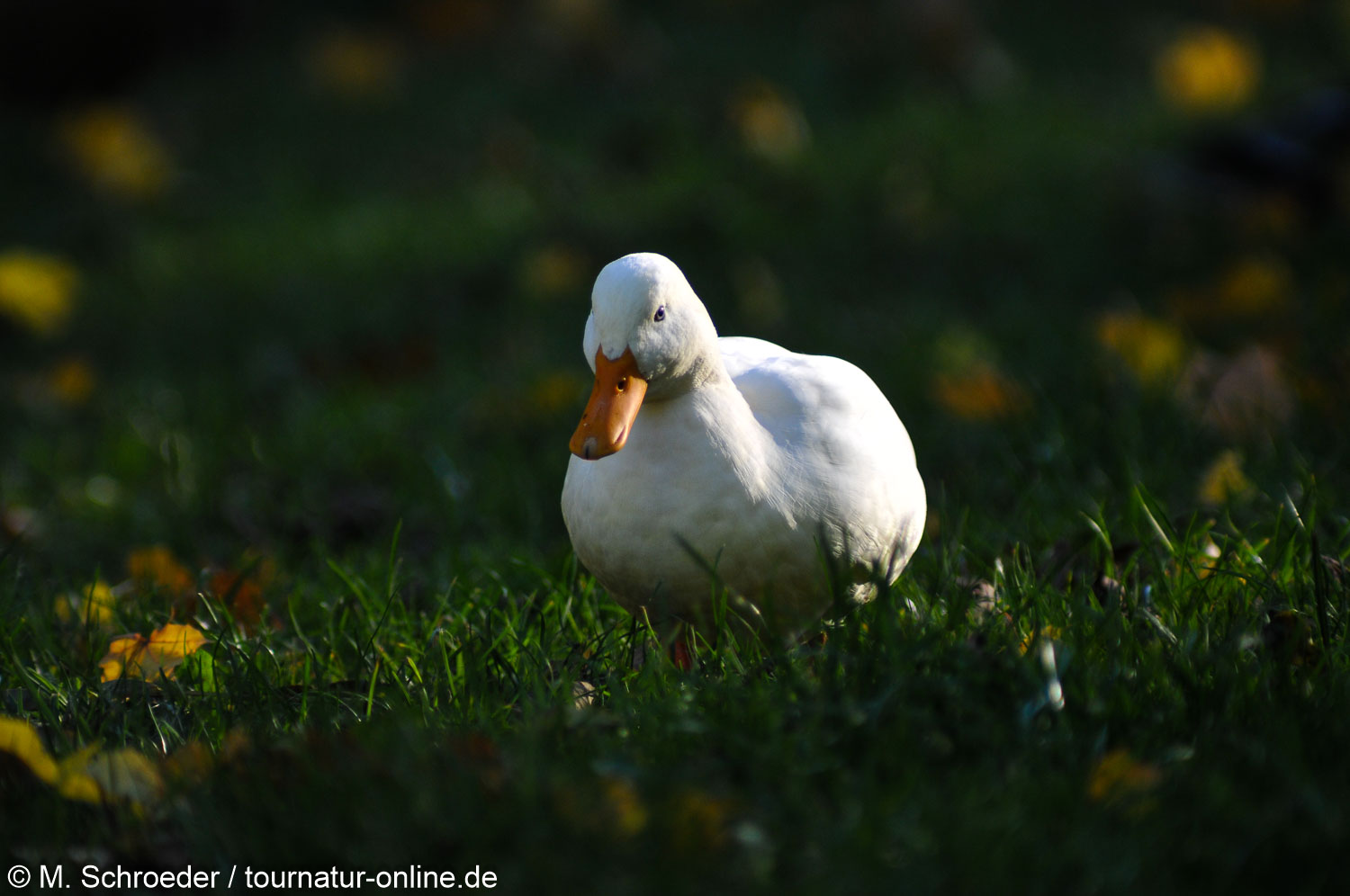 Hausgans - Domestic geese (Anser anser domesticus)