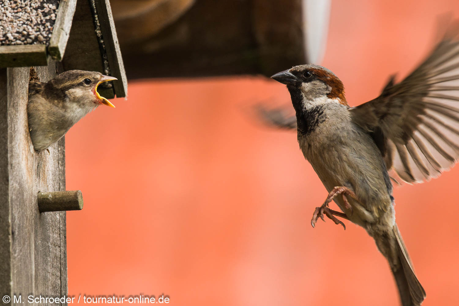 Haussperling - house sparrow (Passer domesticus)