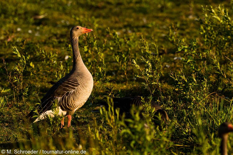 Graugans - greylag goose (Anser anser)