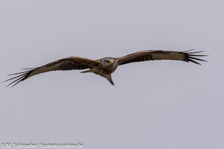 Rotmilan - red kite (Milvus milvus)