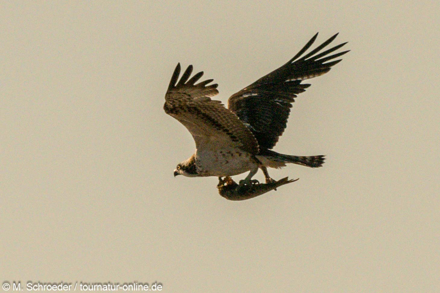 Fischadler - osprey (Pandion haliaetus)