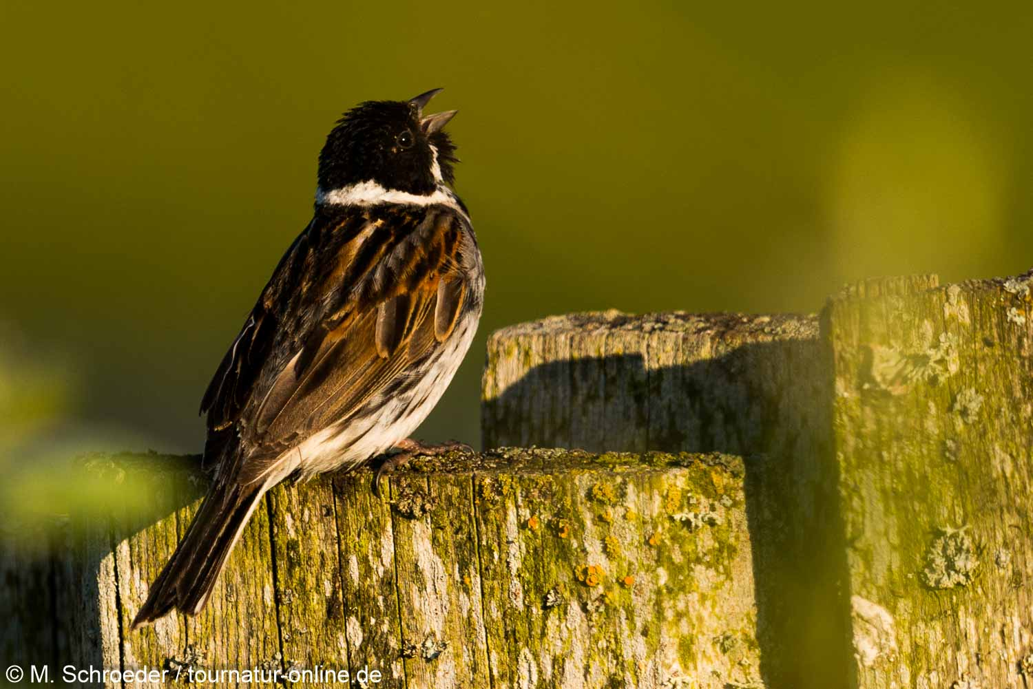 Rohrammer - common reed bunting (Emberiza schoeniclus)