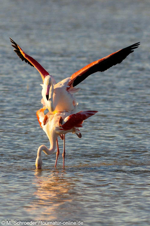 Rosaflamingo - greater flamingo (Phoenicopterus roseus)