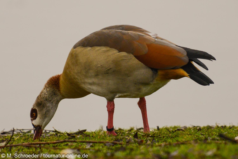 Nilgans - Egyptian goose (Alopochen aegyptiaca)