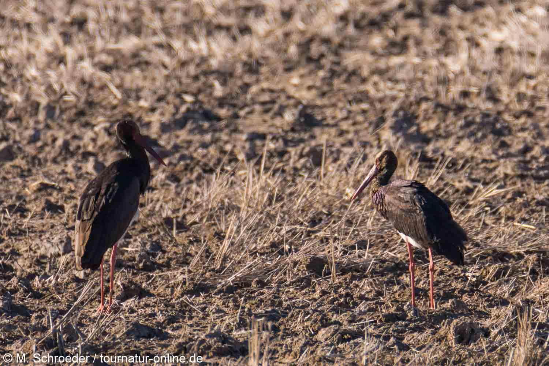 Schwarzstorch - black stork (Ciconia nigra)
