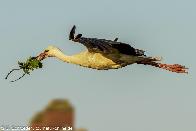 Weißstorch - white stork (Ciconia ciconia)