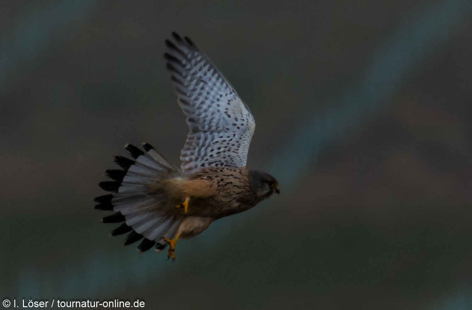 Turmfalke, männl.  - common kestrel (Falco tinnunculus) , male