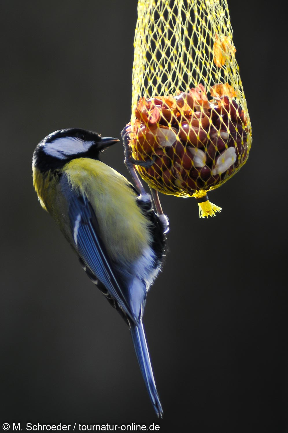 Kohlmeise - great tit (Parus major)