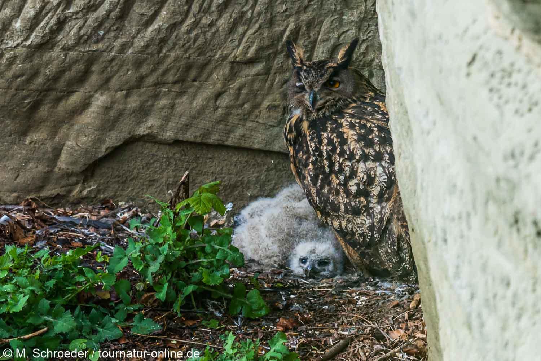 Uhu mit Jungen im Nest - Eurasian eagle-owl (Bubo bubo)