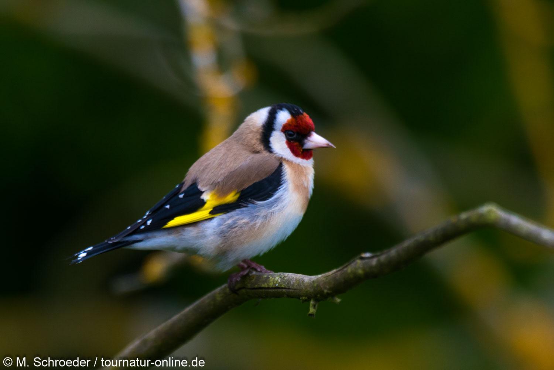 Stieglitz - goldfinch (Carduelis carduelis)