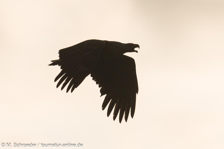 Seeadler - White-tailed eagle (Haliaeetus albicilla)
