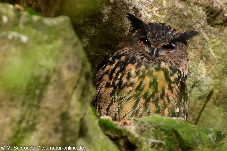 Uhu - Eurasian eagle-owl (Bubo bubo)