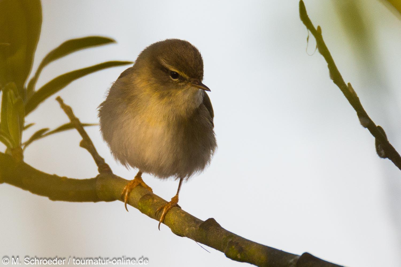 Fitislaubsänger - willow warbler (Phylloscopus trochilus)
