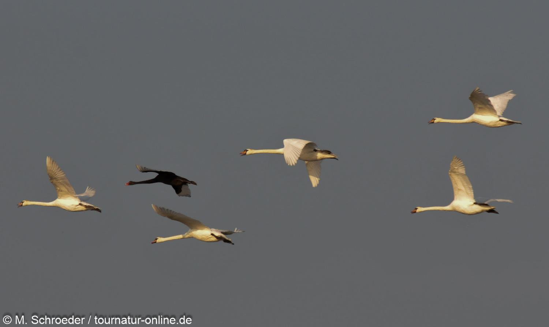 Trauerschwan - black swan (Cygnus atratus)