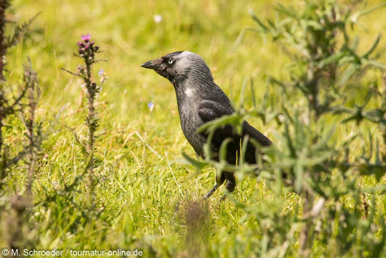 Aaskrähe, Nebelkrähen-Morphe - carrion crow (Corvus corone)