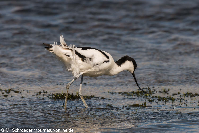 Säbelschnäbler - pied avocet (Recurvirostra avosetta)