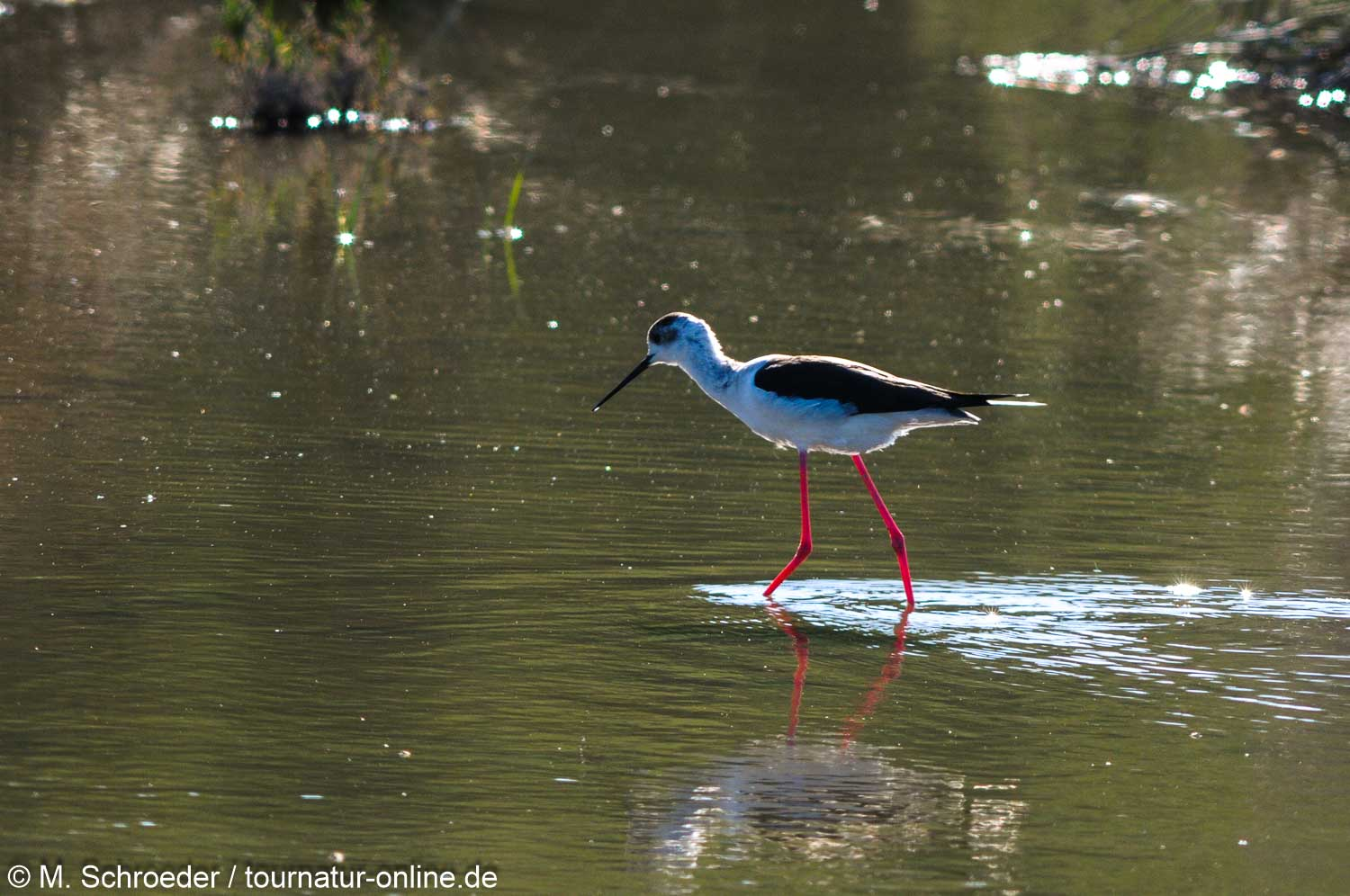 Stelzenläufer - Black-winged stilt (Himantopus himantopus)