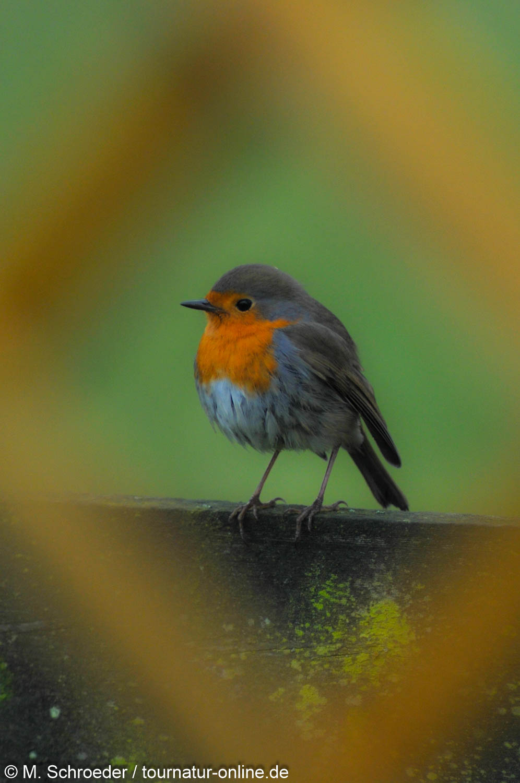 Rotkehlchen - European robin (Erithacus rubecula)
