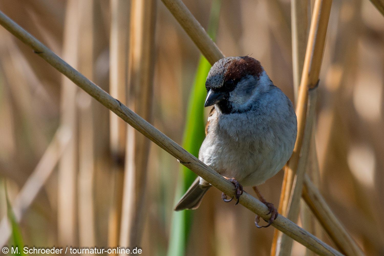 Feldsperling - Eurasian tree sparrow (Passer montanus)