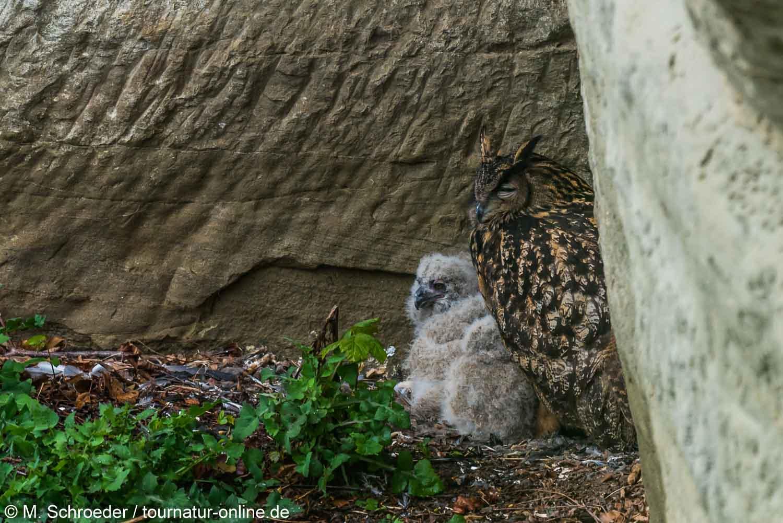Uhu - Eurasian eagle-owl (Bubo bubo)Uhu mit Jungen im Nest - Eurasian eagle-owl (Bubo bubo)