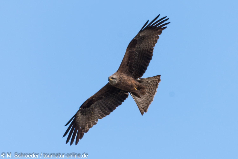Schwarzmilan - black kite (Milvus migrans)