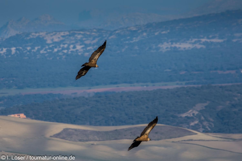 Gänsegeier in Spanien - griffon vulture (Gyps fulvus)