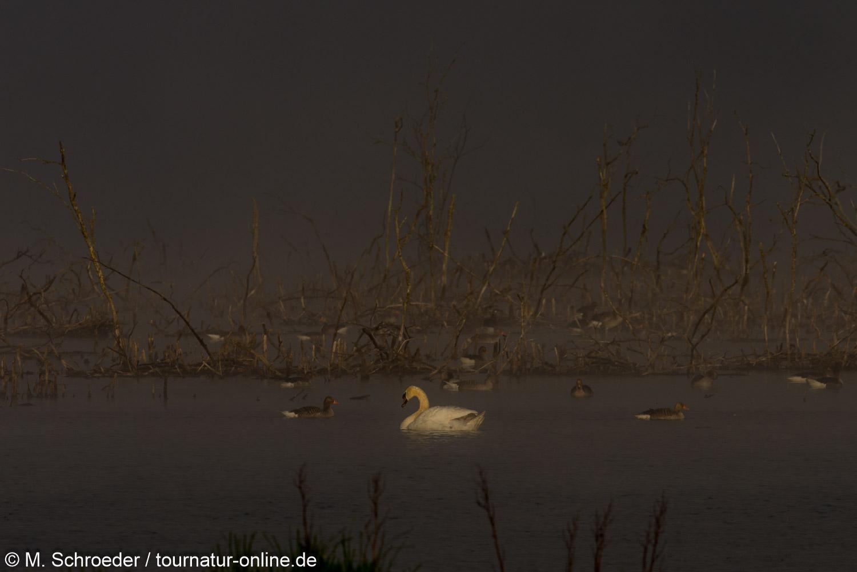 Höckerschwan - mute swan (Cygnus olor)