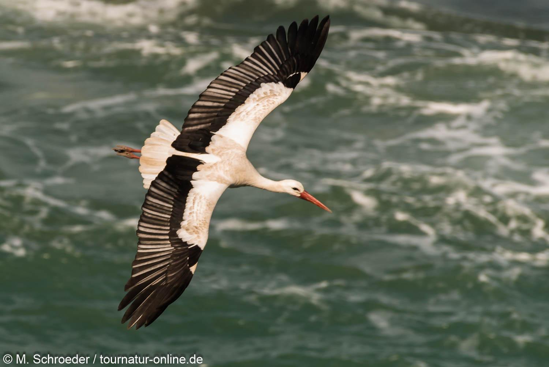 Weißstorch über Wasser- white stork (Ciconia ciconia)