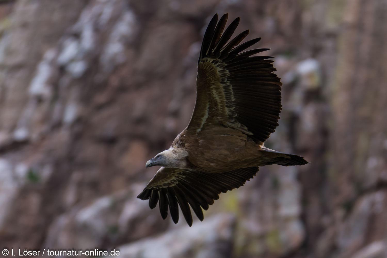 Gänsegeier in der Extremadura - griffon vulture (Gyps fulvus)