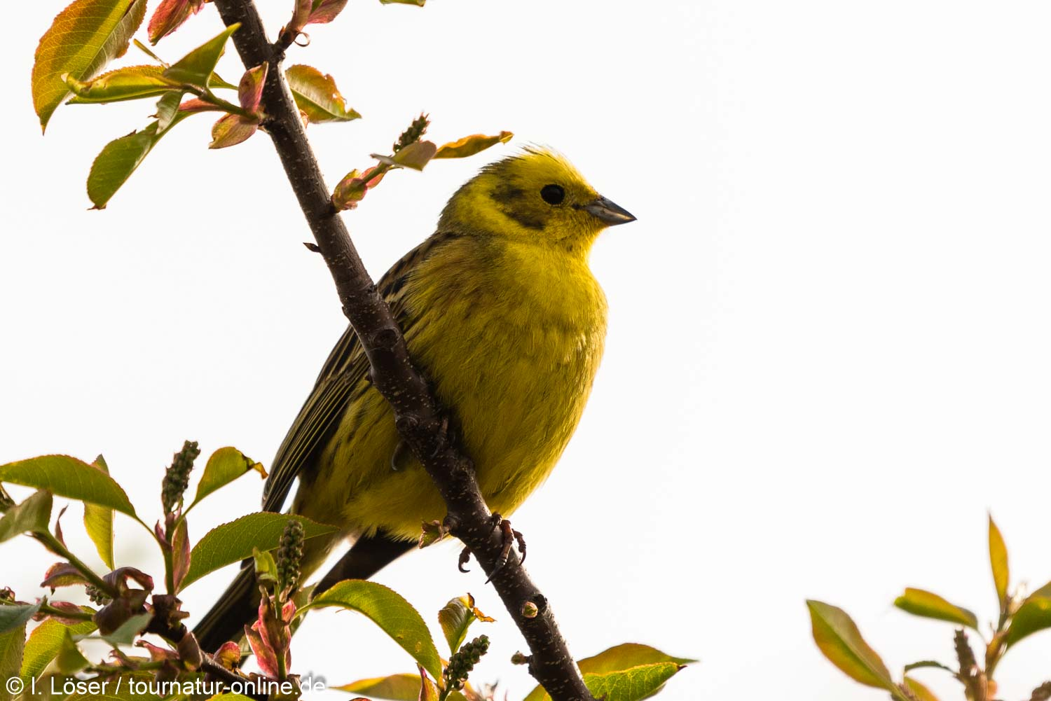 Goldammer - yellowhammer (Emberiza citrinella)