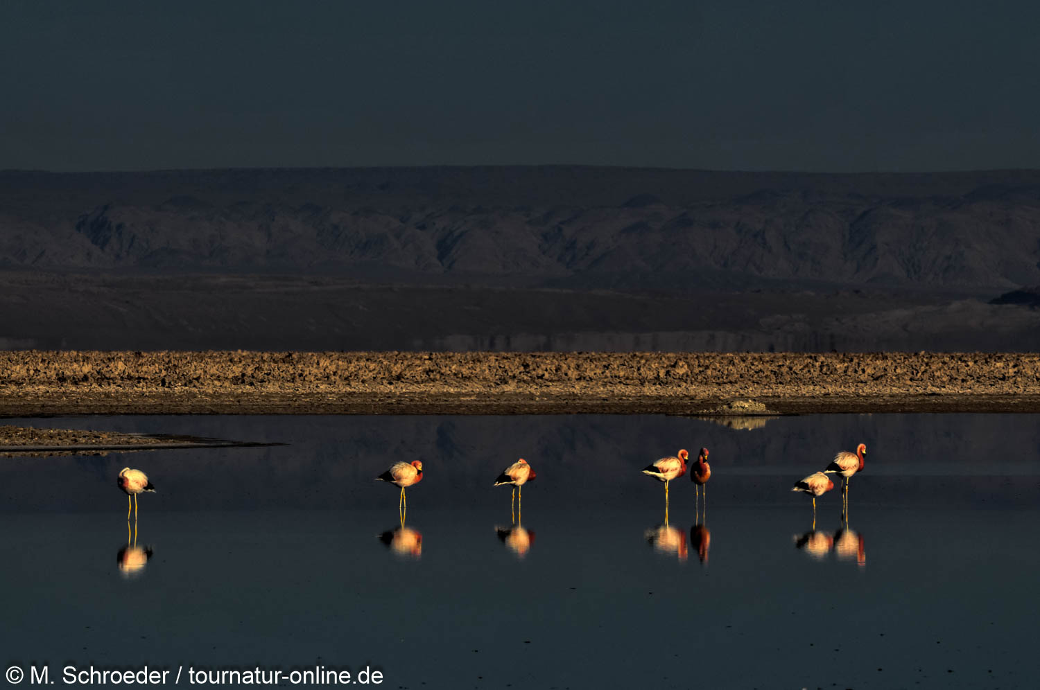 Andenflamingo in der Atacama Chile