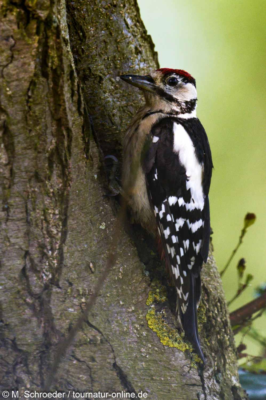 Buntspecht - great spotted woodpecker (Dendrocopos major)