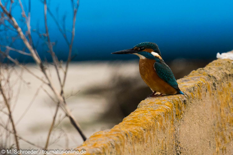Eisvogel im Ebro-Delta
