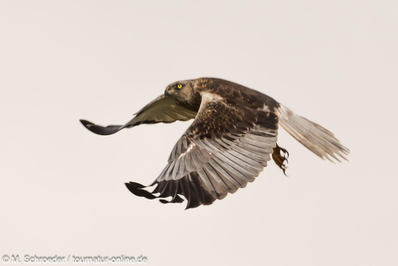 männliche Rohrweihe - western marsh harrier (Circus aeruginosus), male
